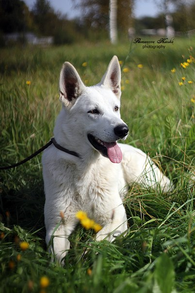 white swiss shepherds, kennel Karneliks, белая швейцарская овчарка, питомник Карнеликс